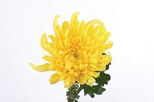 chrysanthemum-feng-shui.jpg