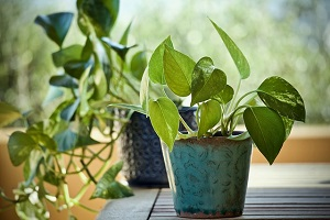 Is The Snake Plant Good Or Bad Feng Shui? | FengShuied