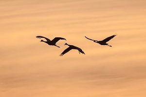 cranes-in-flight.jpg