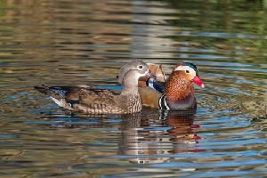 mandarin-ducks-in-water-pond.jpg