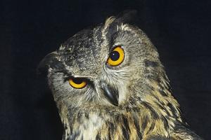 owl-meanings.jpg