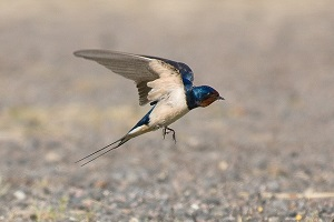 swallow-bird-feng-shui.jpg