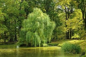 willow-tree-feng-shui.jpg