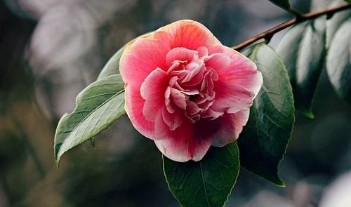 azalea-flower.jpg