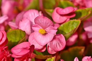 begonia-flower-feng-shui.jpg