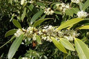 osmanthus-flowers.jpg