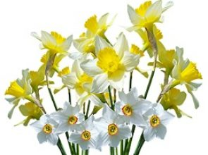 Narcissus Flower Encourages The Fulfillment Of Potential Talent