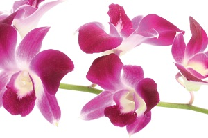 orchids-for-feng-shui.jpg