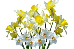 narcissus-flower-in-feng-shui.jpg