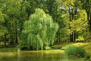 willow-tree-feng-shui.jpg