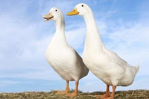 geese-in-feng-shui.jpg