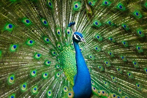 feng-shui-peacock-bird.jpg