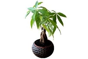 pachira-money-tree-plant.jpg