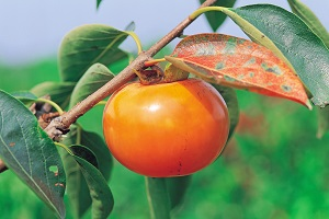 persimmon-on-tree.jpg