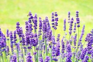 lavender-feng-shui.jpg