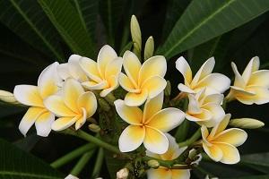 frangipani-magnolia.jpg
