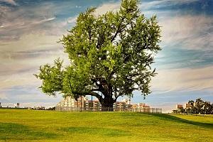 ginkgo-tree.jpg