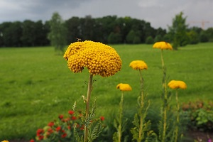 yarrow-stalks.jpg