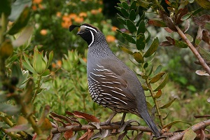 quail-symbolism.jpg