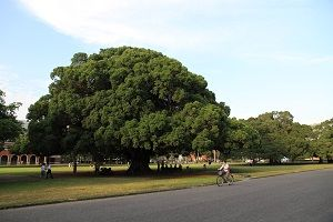banyan-tree.jpg