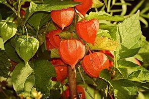 chinese-lantern-plant.jpg
