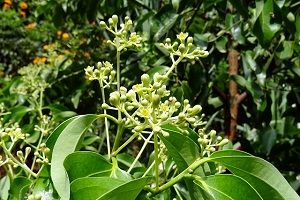 cinnamon-tree-plant.jpg