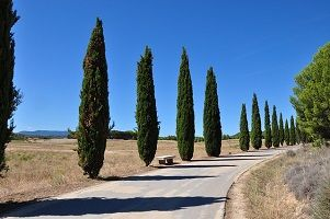 cypress-trees.jpg