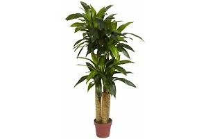 iron-tree-plant.png