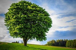 jia-wood-big-tree.jpg