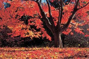 maple-tree.jpg