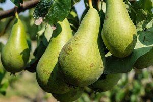 pear-fruit.jpg